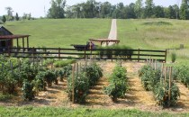 We use mulch around our plants and in our walking rows to keep the garden clean and weeds to a minimum
