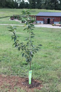 A newly planted apple tree at the farm