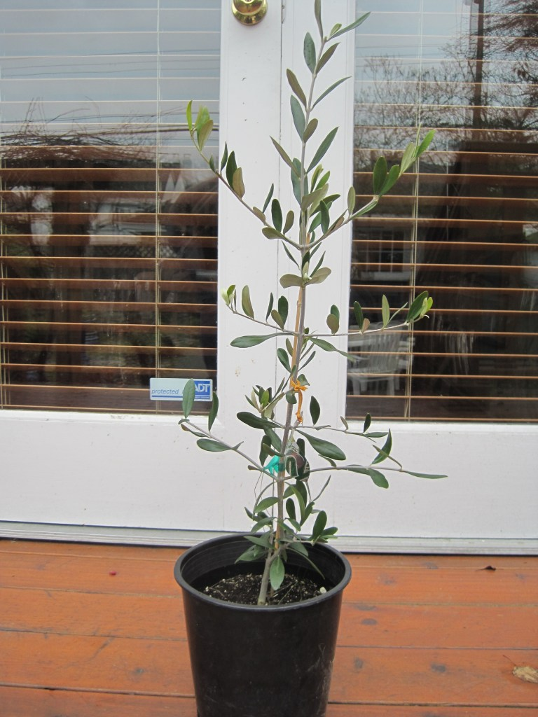 Saturna olive consortium blog archive leccino for Pruning olive trees in pots