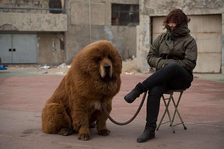 Cold Tibetan mastiff dog