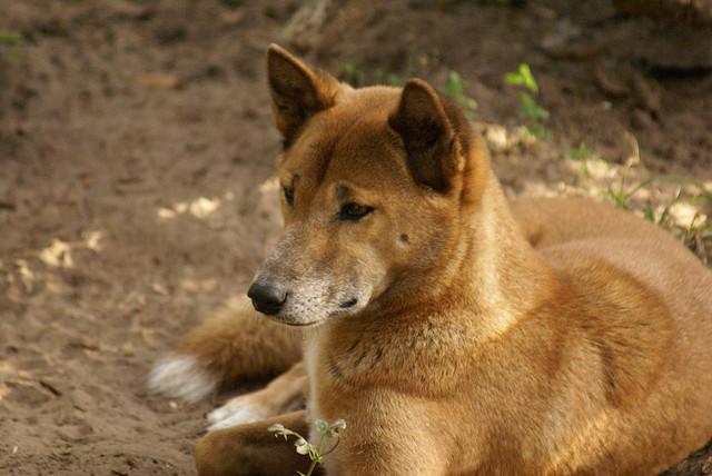 New-Guinea-Singing-Dog