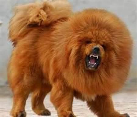 Tibetan-Mastiff-Annoying