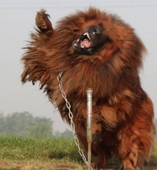 red_tibetan_mastiff_201123201610765778016