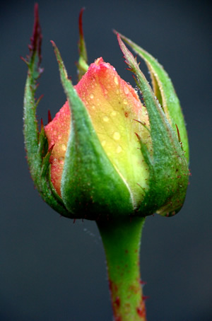 rose_bud