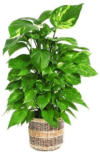 Luftreinigende Pflanzen Schlafzimmer | Kaufen Sie Jetzt ...