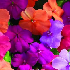 multi color impatiens