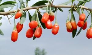 coji-berry