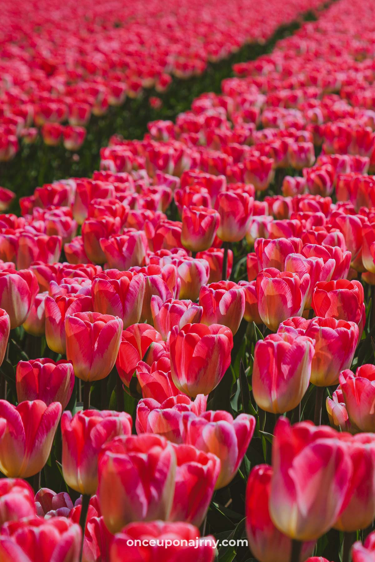 The Best Tulip Fields Netherlands Map Once Upon A Journey