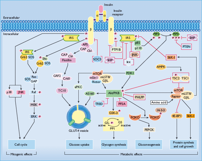 Insulin Action Oncohema Key