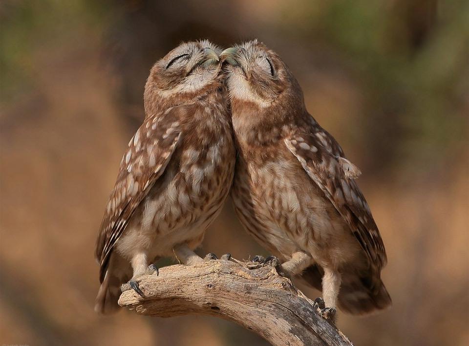 snuggle owls