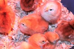 baby chicks {onekriegerchick.com}
