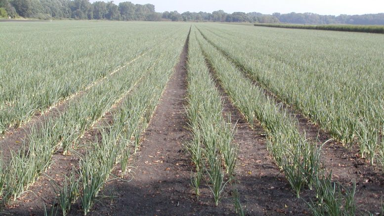 Research Leads to New Herbicide Registrations for Onions - Onion World