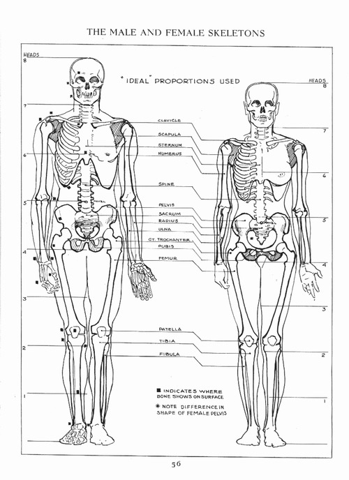 woman muscles diagram