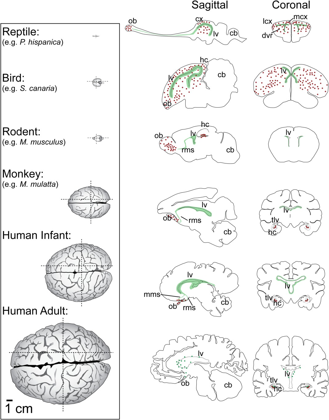 Brain Size And Limits To Adult Neurogenesis Paredes 2016 Journal Of Comparative Neurology Wiley Online Library