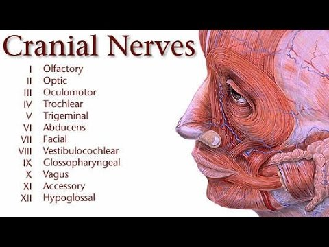 Cranial nerves (Types, Origin, Distribution and Function) - Online