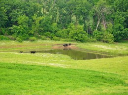 Cows use the fenced access ramp to drink water from one of three paddocks available to the pond. Photo: Jason Johnson, NRCS