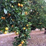 oranges on trees