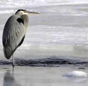 heron on river