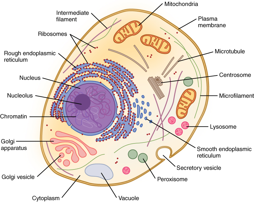 32 The Cytoplasm and Cellular Organelles \u2013 Anatomy and Physiology
