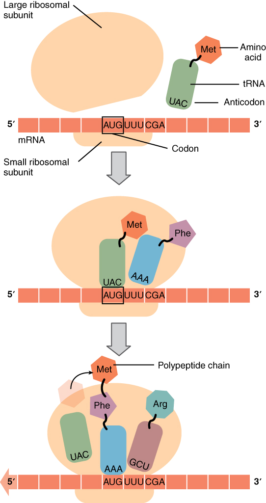 34 Protein Synthesis \u2013 Anatomy and Physiology