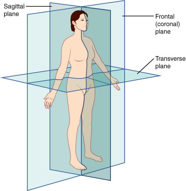 16 Anatomical Terminology \u2013 Anatomy and Physiology