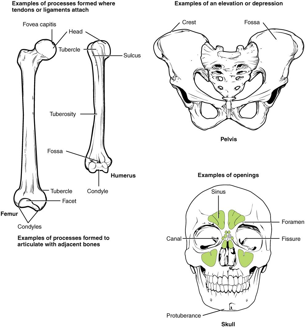 diagram of hip bone subacetabular groove