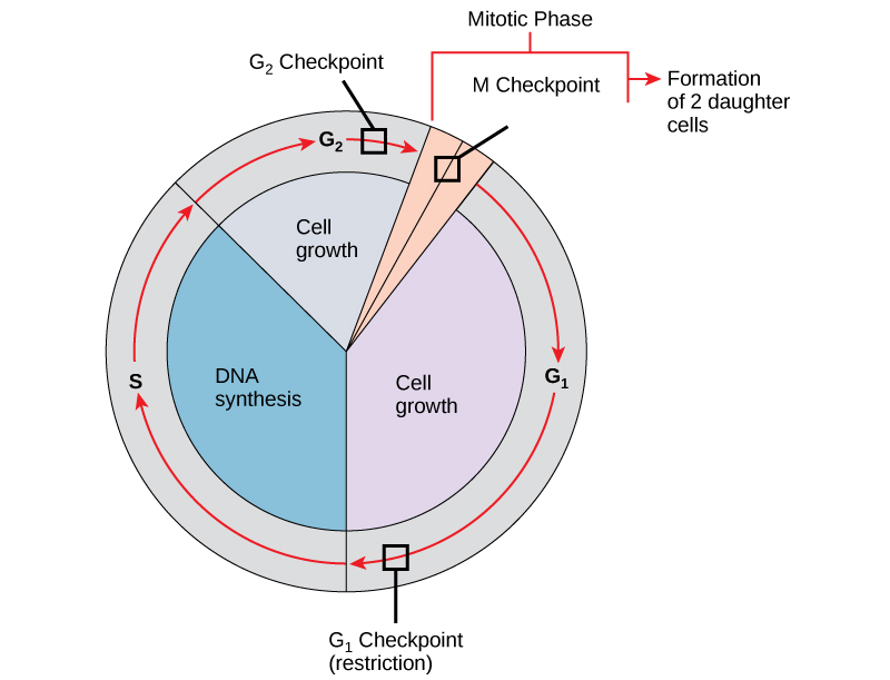 62 The Cell Cycle \u2013 Concepts of Biology-1st Canadian Edition