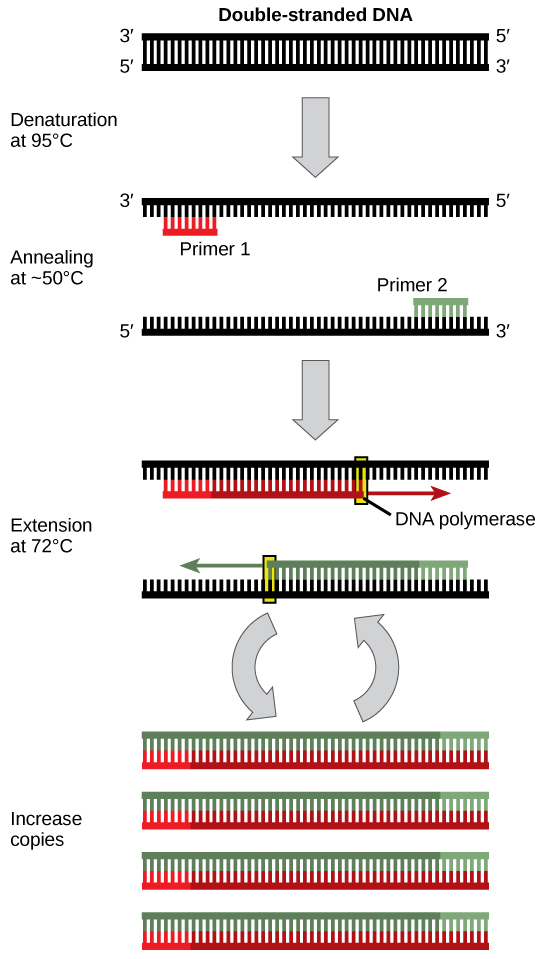 101 Cloning and Genetic Engineering \u2013 Concepts of Biology-1st