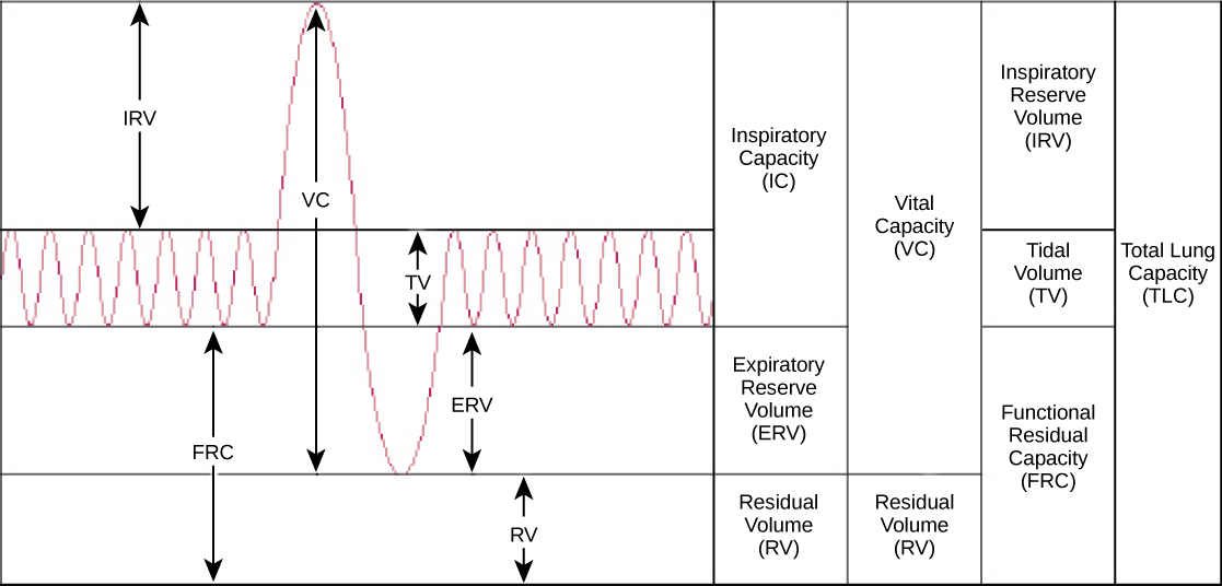 202 Gas Exchange across Respiratory Surfaces \u2013 Concepts of Biology