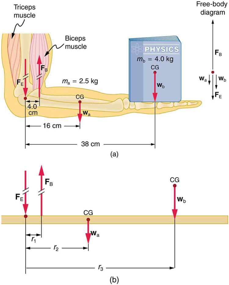 Forces and Torques in Muscles and Joints \u2013 College Physics