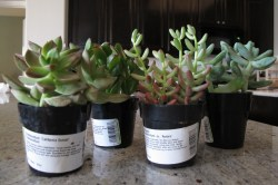 Small Of Home Depot Succulents