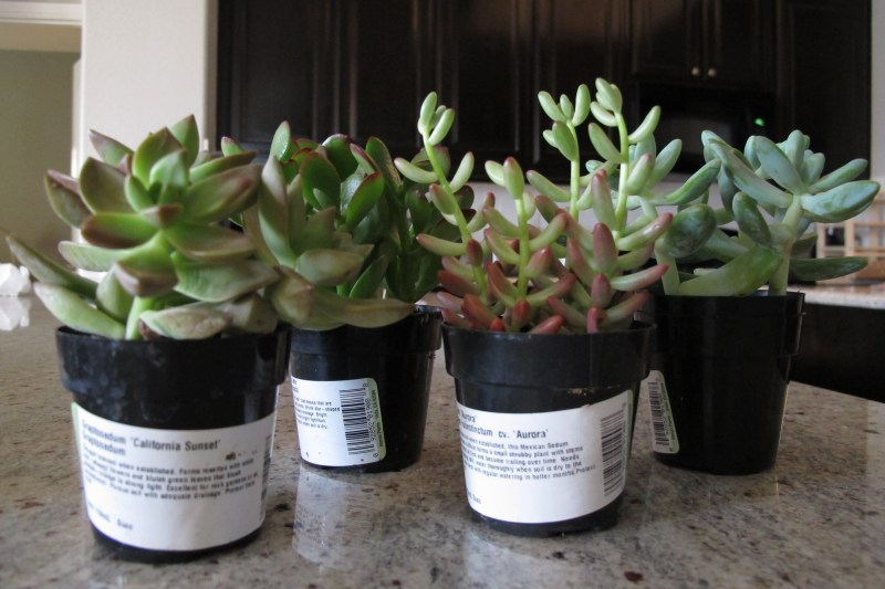 Large Of Home Depot Succulents