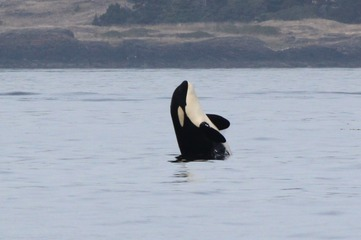 ZDROJ: http://www.sanjuanorcas.com/orca-encounters-blog/category/l%20pod/2