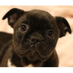 Small Crop Of Boston Terrier Pug Mix