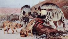 Lydekker_hyenas_and_jackals