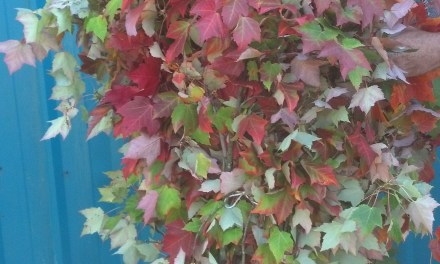 Fall Red Maple Leaves