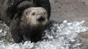 Judge the Sea Otter Enrichment - Photo courtesy of Oregon Coast Aquarium