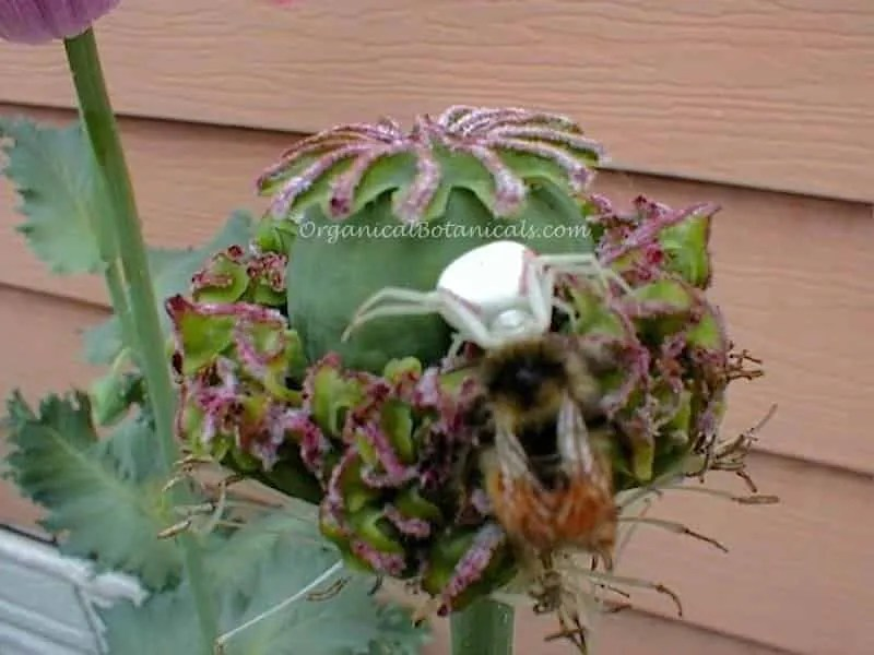 Crab Spider Kills a Bee atop a Poppy Pod – Organical Botanicals
