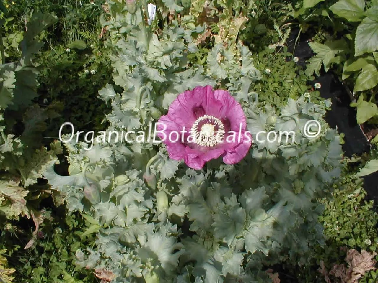 how to grow poppy pods
