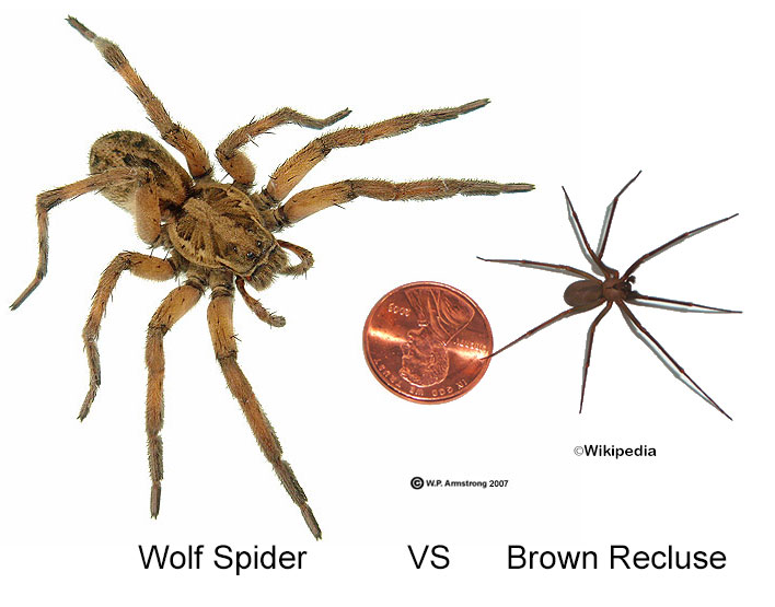 How To Avoid Get Rid Of Brown Recluse Spiders In The House