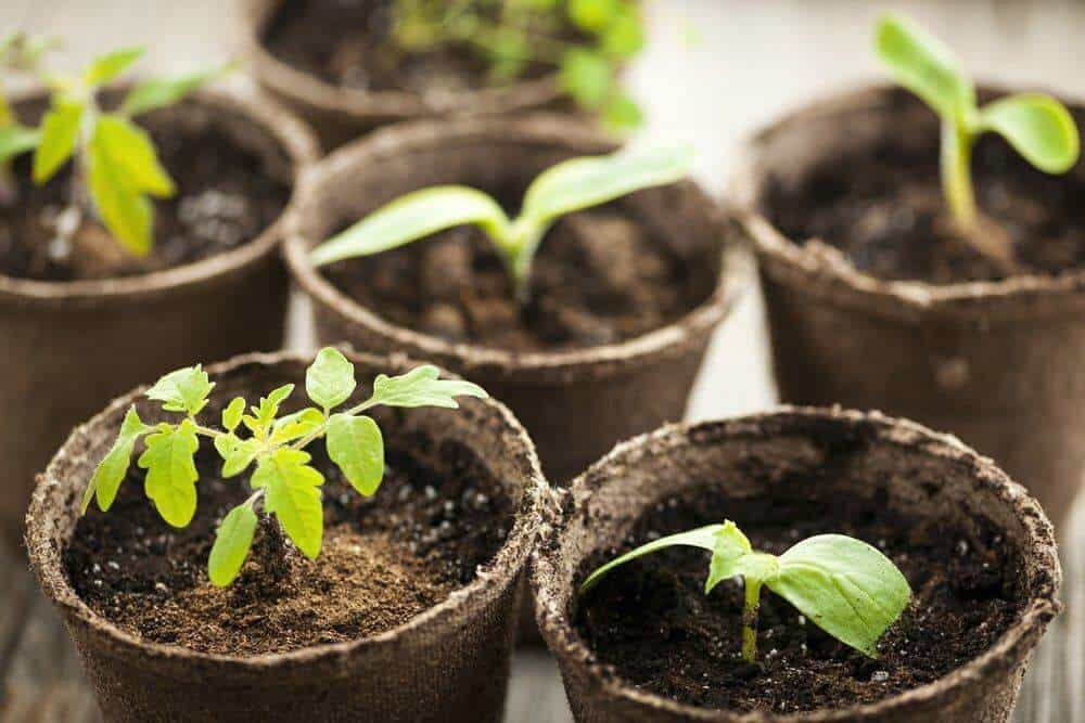 How To Start Tomato Seeds - Organic Daily Post