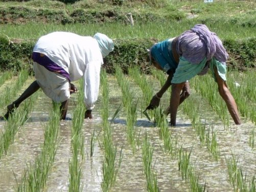 working_in_the_rice_field