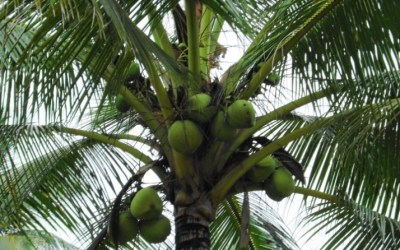 coconut_trees_15
