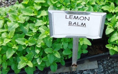 great_swamp_greenhouse_photos_lemon_balm