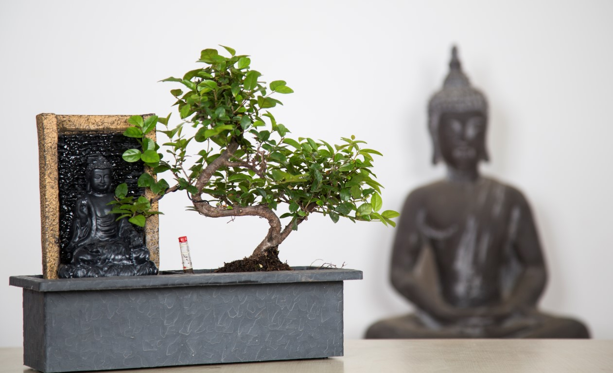 Bonsai D Interieur Especes Bonsai Oriental Online