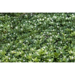 Small Crop Of Pachysandra Ground Cover