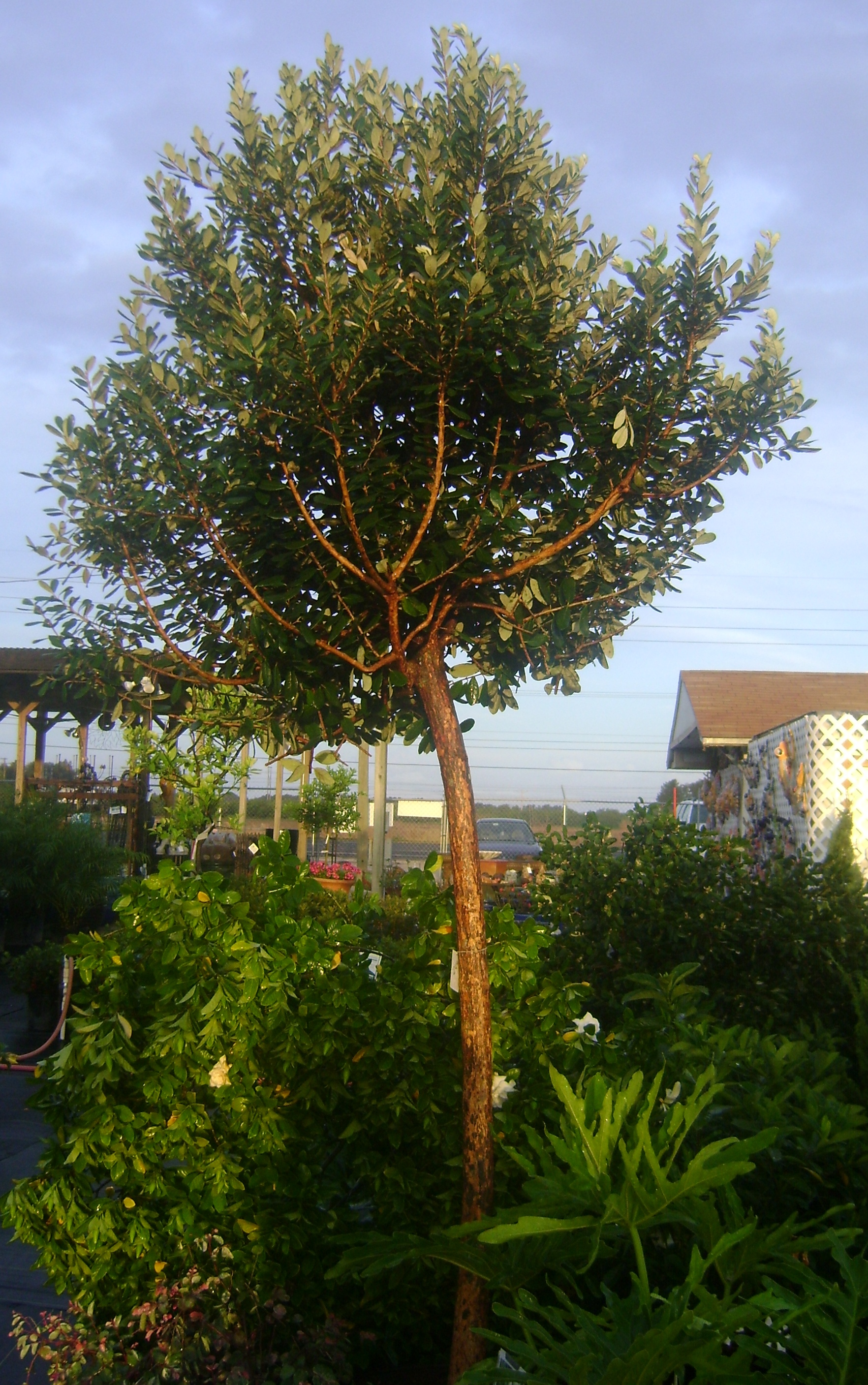 Asian Plants For Sale Buy Asian Guava Tree For Sale In Orlando Kissimmee