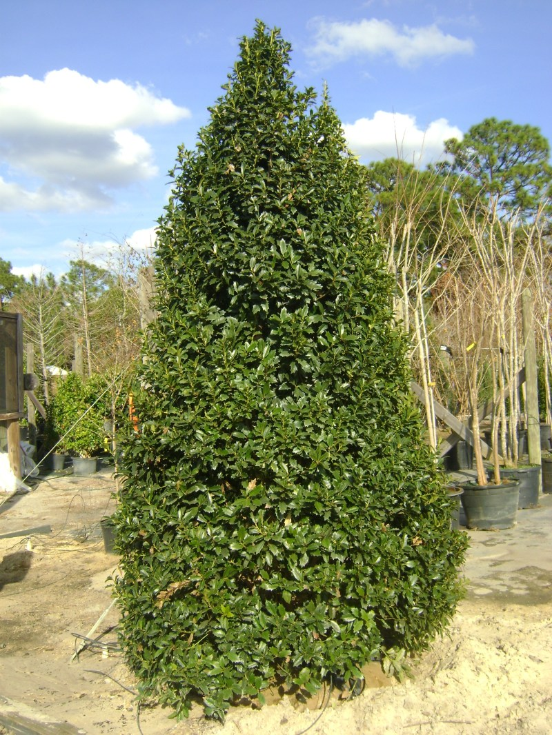 Large Of East Palatka Holly