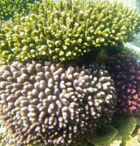corals faster growth