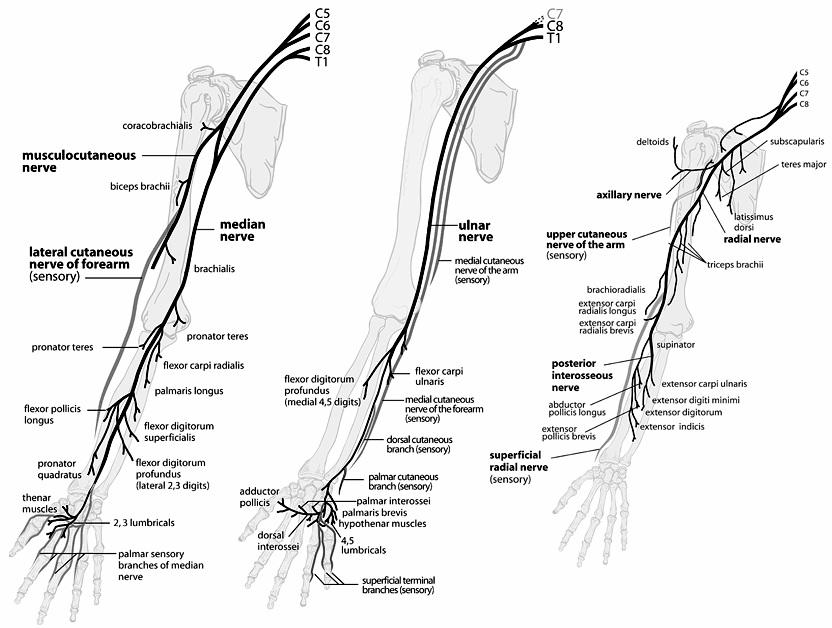 diagram of peripheral nerves